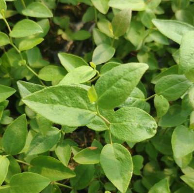 山东蓝莓苗厂家种植12年