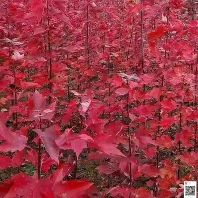 自家扦插红枫苗百余万棵今秋供应详情及红枫苗栽培注意事项