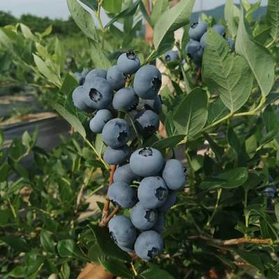 山东绿宝石 蓝莓苗厂家种植